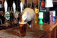 TopRq.com search results: duck drinks a beer