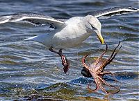TopRq.com search results: seagull hunting an octopus