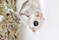 TopRq.com search results: flying squirrel