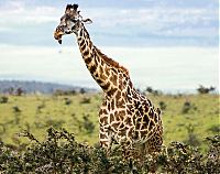 TopRq.com search results: red-billed oxpecker with a giraffe