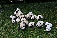Giant Panda Breeding, Chengdu Research Base, Chengdu, Sichuan, China