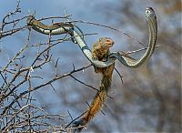 TopRq.com search results: mongoose eating a snake