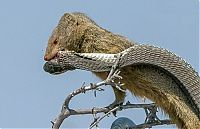 mongoose eating a snake