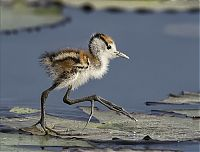 juvenile jacana bird downies