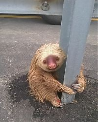 sloth rescued on the highway