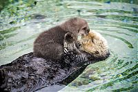 baby otter falls asleep on mom