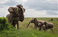 angry elephant attacks a buffalo