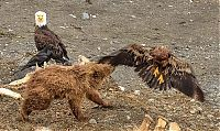 bear against an eagle