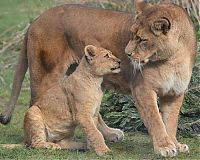 TopRq.com search results: lion cubs with a family