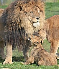 lion cubs with a family
