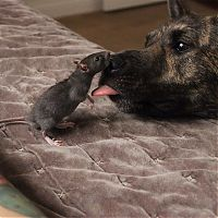 TopRq.com search results: cute rat with a dog