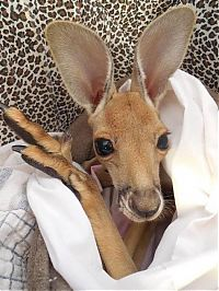 TopRq.com search results: Rescuing kangaroos, Kangaroo Dundee, Chris Brolga Barns
