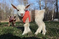 TopRq.com search results: cute pet baby goat