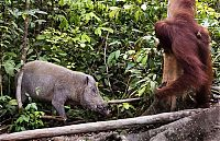 TopRq.com search results: orangutan against a wild boar