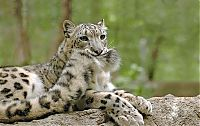 Fauna & Flora: snow leopard with long tail