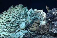 Fauna & Flora: Large sea sponge, Papahānaumokuākea Marine National Monument, Northwestern Hawaiian Islands
