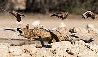 Fauna & Flora: jackals hunt birds in the wild