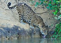Fauna & Flora: jaguar hunts for a crocodile