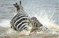 Fauna & Flora: zebra against a crocodile