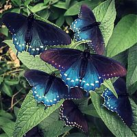 Fauna & Flora: Blue Pipevine Swallowtail butterfly