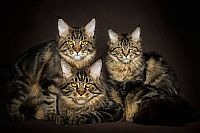 TopRq.com search results: maine coon cat