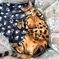 TopRq.com search results: bengal cat