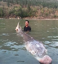 shovelnose sturgeon fish