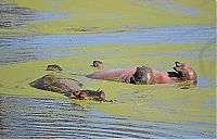 hippopotamus relaxing in the water