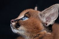 Fauna & Flora: young baby caracal kittens