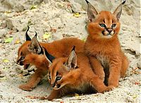 young baby caracal kittens