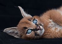 TopRq.com search results: young baby caracal kittens