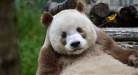 Brown panda, Qingling Mountains, Shaanxi Province, China