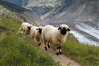 TopRq.com search results: Valais Blacknose sheep