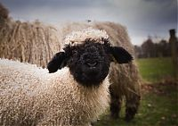 Valais Blacknose sheep