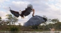 TopRq.com search results: eagle against a heron