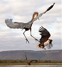 eagle against a heron