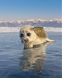 TopRq.com search results: Baby seal, Lake Baikal, Siberia, Russia