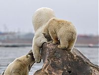 TopRq.com search results: Polar bears eating a dead whale, Alaska, United States