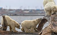 Polar bears eating a dead whale, Alaska, United States