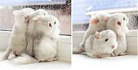 Fauna & Flora: baby chinchillas