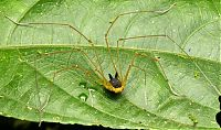 TopRq.com search results: harvestman arachnid