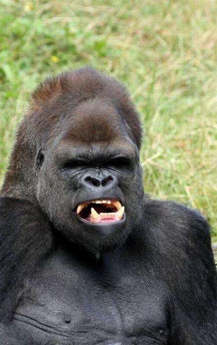 Giochi dei gorilla