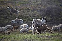 TopRq.com search results: Life of Siberian reindeer herders, Yamal, Russia.