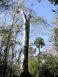TopRq.com search results: The Senator tree destroyed by fire and collapsed, Big Tree Park, Longwood, Florida, United States
