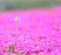 TopRq.com search results: Moss Pink Cherry blossoms, Takinocho Shibazakura Park, Japan