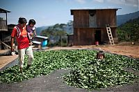TopRq.com search results: Coca plant farmers, Peruvian mountains, Peru